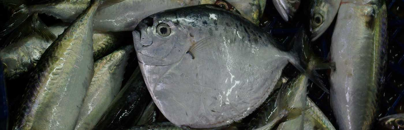 Moonfish, Mene maculata - Valuable natural resources from Malaysian marine ecosystems
